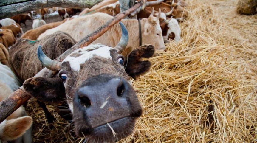В Омской области зарегистрированы случаи опасной болезни крупного рогатого скота